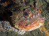 Scorpaena guttata, Scorpionfish<br /> Kevin's Reef North, Palos Verdes, California