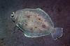 Flatfish:<br /> Willow Cove, Catalina Island, California<br /> January 9, 2021