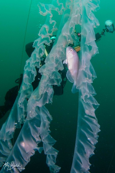 Jelly: Chrysaora colorata, Purple Jelly, and Medusafish, with Kevin Lee<br /> Catalina Channel<br /> March 14, 2021<br /> Photo: Mike Bartick