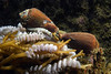 Snail: Californiconus californicus, California Cone Snails, laying eggs<br /> Palos Verdes, California<br /> August 1, 2020