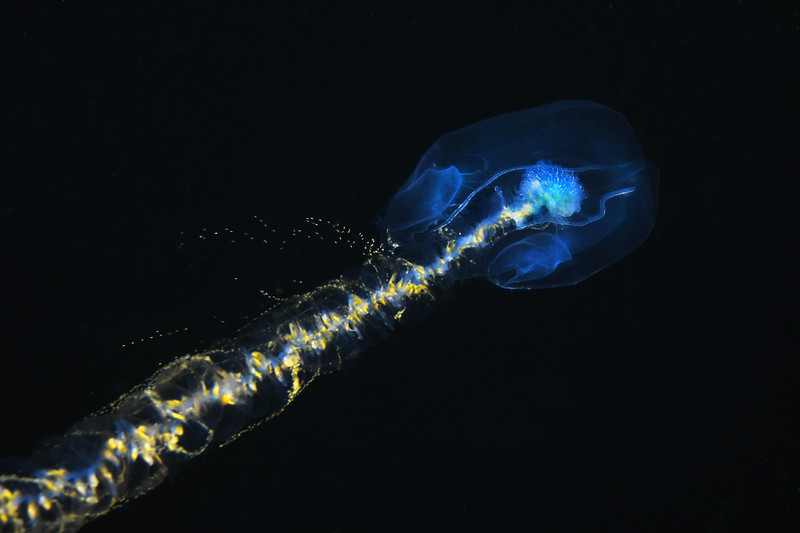 Praya dubia, Giant Siphonophore<br /> Catalina Channel<br /> March 14, 2021