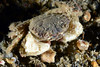 Crab: Lophopanopeus leucomanus<br /> The Barge, Palos Verdes, California<br /> ID thanks to Dr. Mary Wicksten