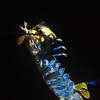 """Step 9: I slowly raised the coat hangar, several feet off the ground, but the Mantis Shrimp would not abandon the bait.  Its abdomen festooned with five pairs of beautiful bright blue colored pleopods (swimmeretes).<br /> Hemisquilla californiensis, Mantis """"Shrimp""""<br /> Willow Cove, Catalina Island, California<br /> January 9, 2021"""