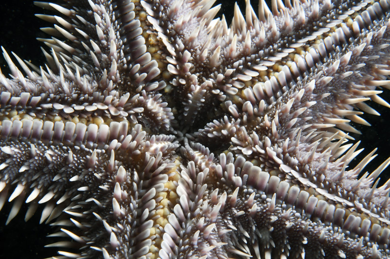 Star: Astropecten armatus<br /> White Point Outfall Pipe, Palos Verdes, California<br /> October 4, 2020