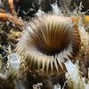 Myxicola infundibulum<br /> Willow Cove, Catalina Island, California<br /> January 9, 2021