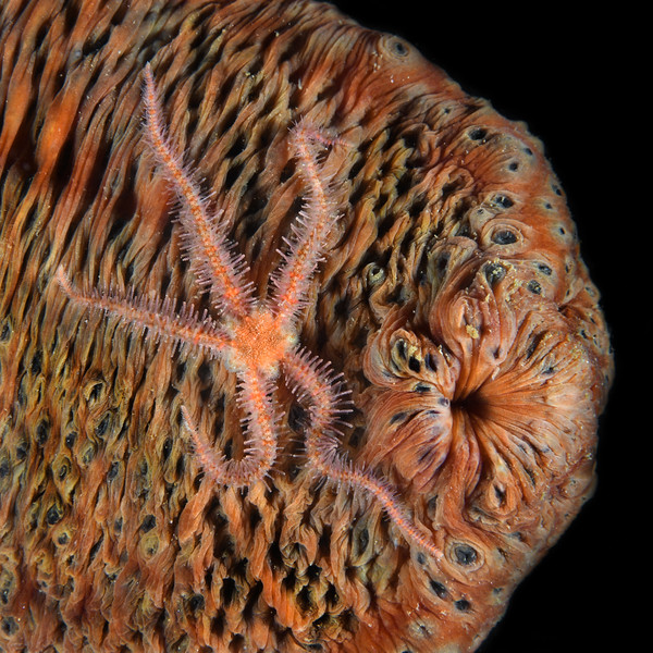 """Star: Ophiothrix spiculata, Brittle Star, on ventral side of Parastichopus parvimensis, Warty Sea Cucumber<br /> Palos Verdes, California<br /> July 4, 2020<br /> Comments & ID thanks to Dr. Gordon Hendler, LAMNH<br /> """"Brittle star arms do not regenerate INTO a new star; they wriggle, sometimes for hours, and die. Brittle stars that lose arms can regenerate the missing appendages. Same is true for many sea stars. However, a small number of sea star species can voluntarily autotomize parts of arms, and these pieces can generate a whole new sea star. This is a specialized form of asexual reproduction."""""""