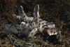 Heterodontus francisci, Horn Shark, shot without snoot.<br /> Willow Cove, Catalina Island, California<br /> January 9, 2021