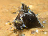 Polycera hedgpethi<br /> Mission Point Park, San Diego, California<br /> August 30, 2020