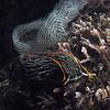 Navanax inermis, with eggs<br /> Mission Point Park, San Diego, California<br /> August 30, 2020