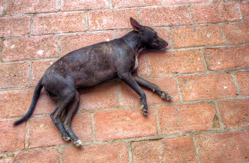 sleeping black dog