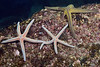 Phataria unifascialis (2) and Pharia pyramidata (1)<br /> Barco Hundido Reef, Bahia de Los Angeles, Baja, Mexico<br /> ID thanks to Dr. Hans Bertsch