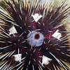 Astropyga pulvinata, Urchin<br /> La Gringa, Bahia de Los Angeles, Baja, Mexico.<br /> ID thanks to Dr. Hans Bertsch