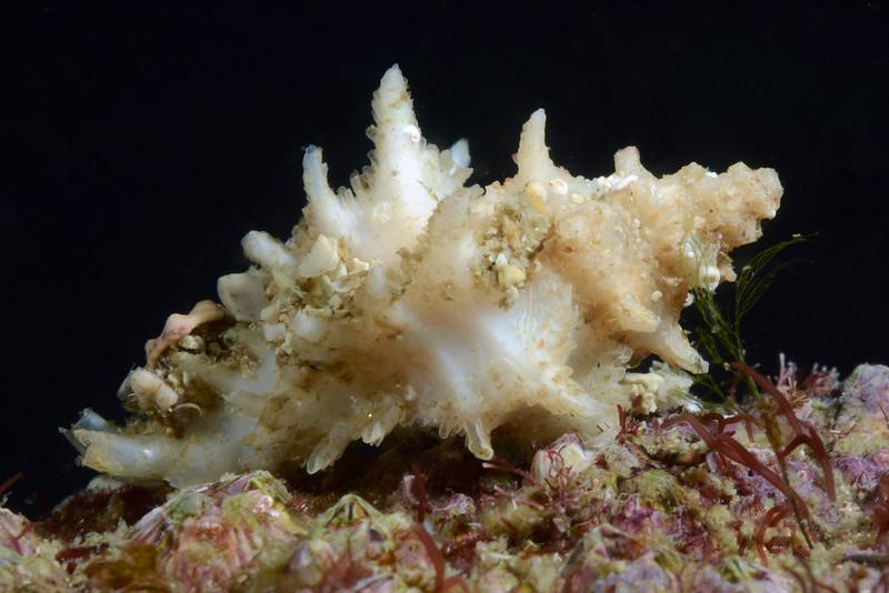 Murex<br /> Barco Hundido Reef, Bahia de Los Angeles, Baja, Mexico