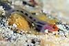 Elacatinus puncticulatus, Redhead Goby<br /> Barco Hundido Reef, Bahia de Los Angeles, Baja, Mexico