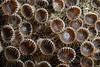 Palythoa ignota, Colonial zoanthid anemone<br /> Cuevitas, Bahia de Los Angeles, Baja, Mexico.