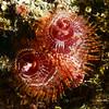 Spirobranchus giganteus, Spiral-gilled tube worm<br /> Barco Hundido Reef, Bahia de Los Angeles, Baja, Mexico.