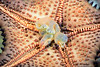 Nidorellia armata, Chocolate Chip Star, ventral perspective showing stomach.<br /> Barco Hundido Reef, Bahia de Los Angeles, Baja, Mexico