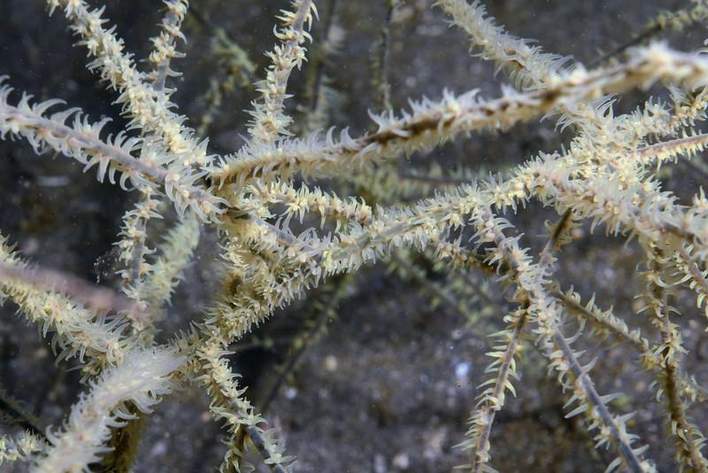 Antipathes galapagensis, Yellow Polyp Black Coral<br /> Cuevitas, Bahia de Los Angeles, Baja, Mexico.