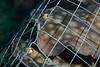 Urolophus halleri, Round Stingrays in trap<br /> Barco Hundido Reef, Bahia de Los Angeles, Baja, Mexico