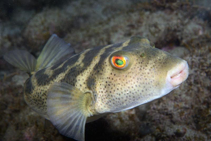 Sphoeroides annulatus, Target Puffer<br /> La Gringa, Bahia de Los Angeles, Baja, Mexico