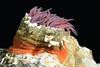 Anemone<br /> Barco Hundido Reef, Bahia de Los Angeles, Baja, Mexico.