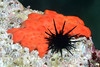 Tunicate: Metandropcarpa taylori<br /> La Gringa, Bahia de Los Angeles, Baja, Mexico.<br /> ID thanks to Dr. Hans Bertsch