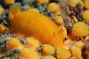 Doriopsilla bertschi, on Cliona celata, Yellow Sponge.<br /> Cuevitas, Bahia de Los Angeles, Baja, Mexico
