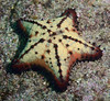 Nidorellia armata, Chocolate Chip Star<br /> Barco Hundido Reef, Bahia de Los Angeles, Baja, Mexico