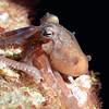 Octopus<br /> La Gringa, Bahia de Los Angeles, Baja, Mexico