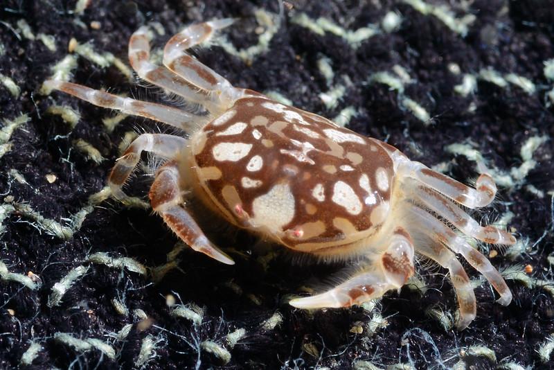Crab: Pea Crab ID needed<br /> Cuevitas, Bahia de Los Angeles, Baja, Mexico