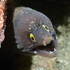 Mureana argus Moray Eel<br /> La Gringa, Bahia de Los Angeles, Baja, Mexico