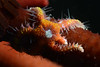 Ophiothela mirabilis, on urchin spine<br /> La Gringa, Bahia de Los Angeles, Baja, Mexico<br /> ID thanks to Dr. Gordon Hendler
