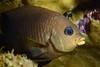 Stegastes flavilatus, Beaubrummel, adult<br /> Barco Hundido Reef, Bahia de Los Angeles, Baja, Mexico