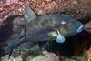 Balistes polylepis, Finescale Triggerfish<br /> Barco Hundido Reef, Bahia de Los Angeles, Baja, Mexico