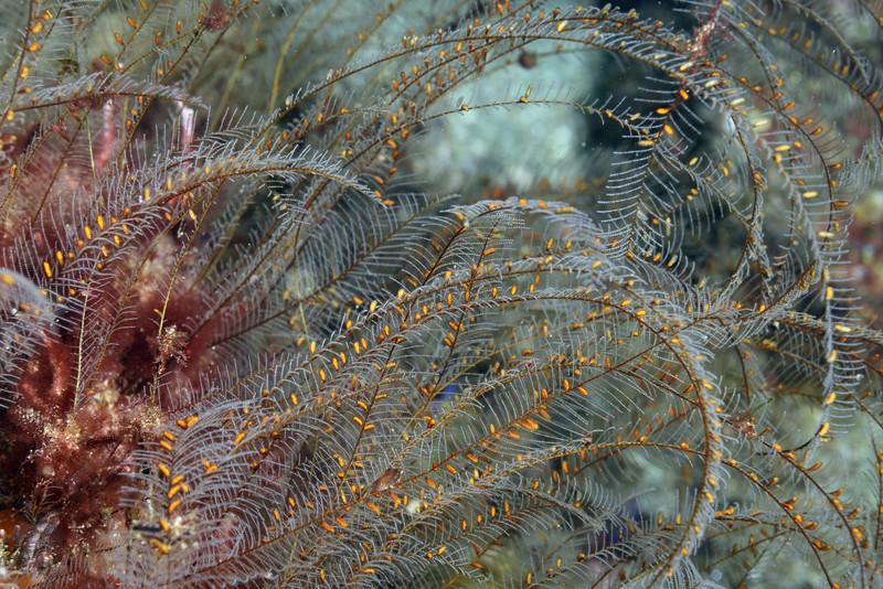 Aglaophenia diegensis, Ostrich plume hydroid<br /> La Gringa, Bahia de Los Angeles, Baja, Mexico.