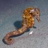 Hippocampus ingens, Pacific Seahorse<br /> Cuevitas, Bahia de Los Angeles, Baja, Mexico.