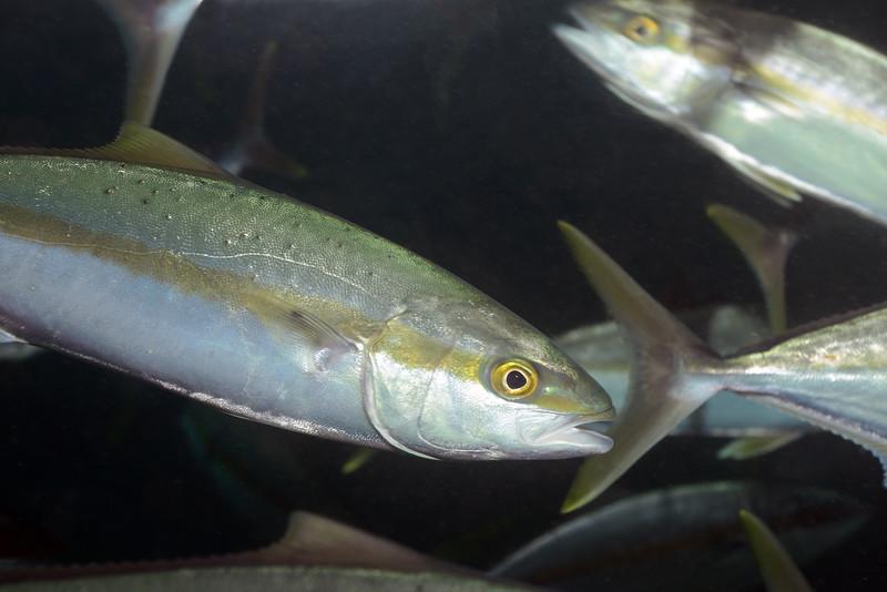 Seriola lalandi, Yellowtail<br /> Barco Hundido Reef, Bahia de Los Angeles, Baja, Mexico