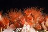 Anemone: Epizoanthus sp.<br /> Barco Hundido Reef, Bahia de Los Angeles, Baja, Mexico.<br /> ID thanks to Dr. Hans Bertsch
