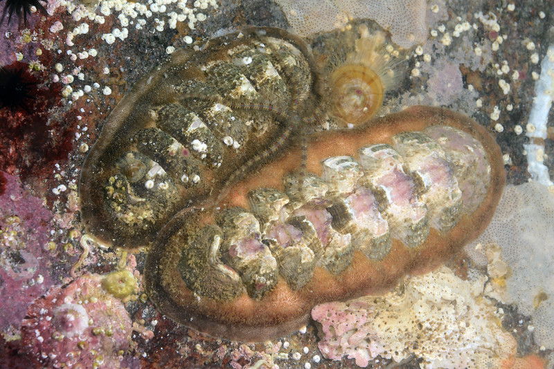 Chitons: Stenoplax mariposa<br /> La Gringa, Bahia de Los Angeles, Baja, Mexico<br /> ID thanks to Dr. Hans Bertsch