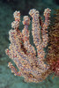 Gorgonian<br /> Barco Hundido Reef, Bahia de Los Angeles, Baja, Mexico.