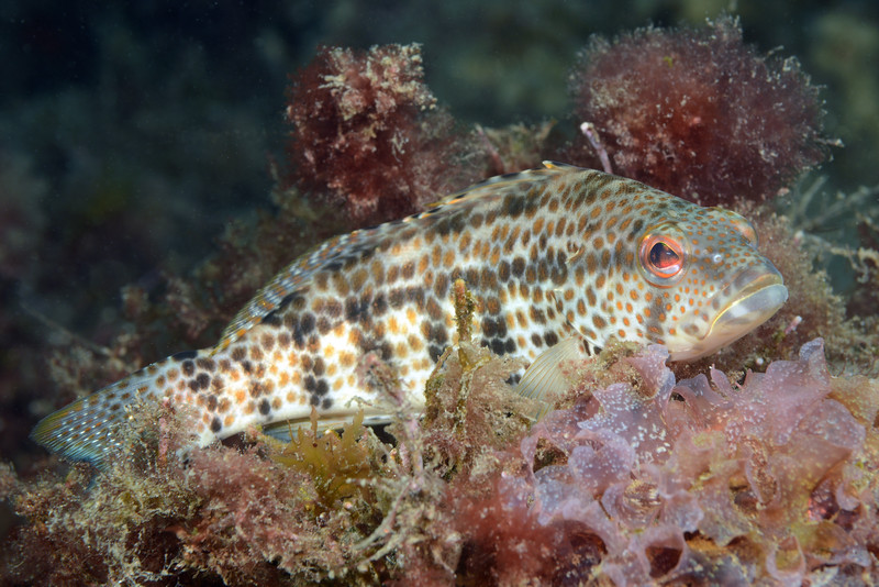 Paralabrax auroguttatus, Gold-Spotted Sandbass<br /> La Gringa, Bahia de Los Angeles, Baja, Mexico