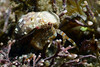 Crab: Phimochrius venustus, Hermit Crab, likely.<br /> La Gringa, Bahia de Los Angeles, Baja, Mexico.<br /> ID thanks to Gregory Jensen.