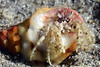 Crab: Paguristes sp., Hermit Crab<br /> Cuevitas, Bahia de Los Angeles, Baja, Mexico<br /> ID thanks to Gregory Jensen.
