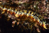 Clam: Spondylus limbatus<br /> Barco Hundido Reef, Bahia de Los Angeles, Baja, Mexico<br /> ID thanks to Dr. Hans Bertsch