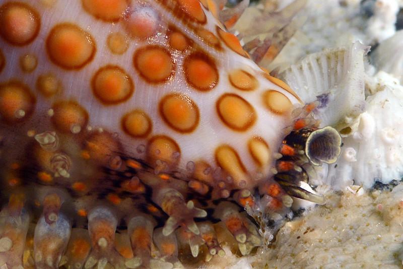 Jenneria pustulata, Sea Button<br /> Barco Hundido Reef, Bahia de Los Angeles, Baja, Mexico
