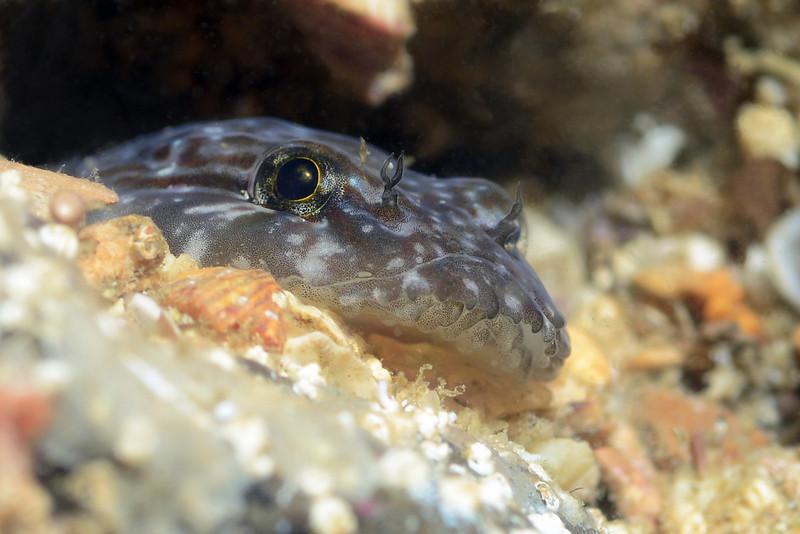 Gobiesox adustus, Panamic Clingfish, likely.<br /> Barco Hundido Reef, Bahia de Los Angeles, Baja, Mexico<br /> ID thanks to Janna Nichols