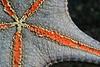Pentaceraster cuming, Panamic Cushion Star, ventral perspective<br /> La Gringa, Bahia de Los Angeles, Baja, Mexico