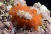 Megatebennus bimaculata, Keyhole Limpet<br /> La Gringa, Bahia de Los Angeles, Baja, Mexico<br /> ID thanks to Drs. Daniel Geiger, Lindsey Groves & Hans Bertsch