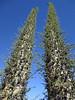 Cirios tree (Fouquieria columnaris), aka Boojum tree