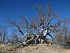 Torote Colorada Tree, Bursera microphylla, aka Elephant Tree